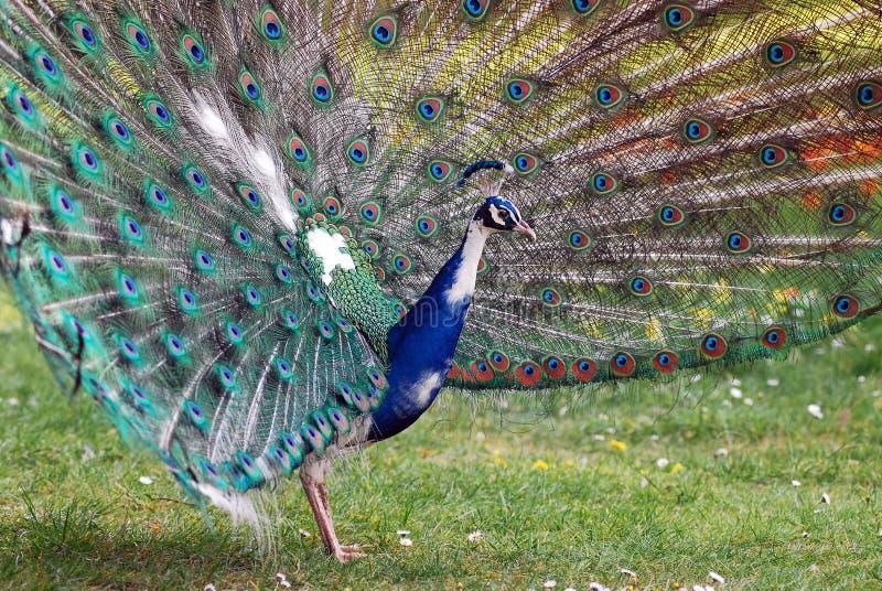 Peacock displays stock image