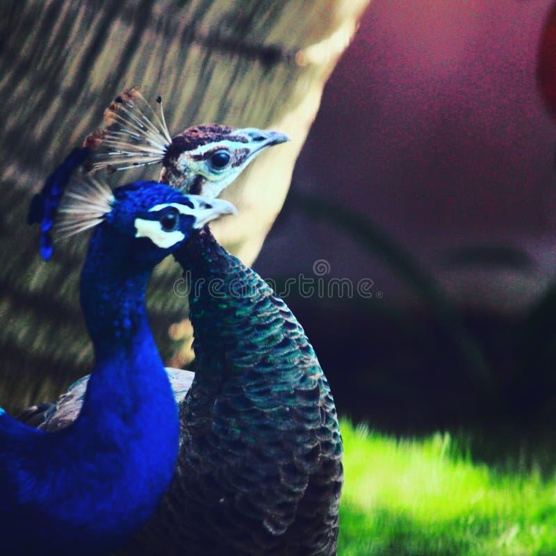 #peacock do ¤ do  do goalsâ dos pares fotografia de stock