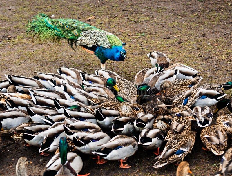 Peacock and ducks royalty free stock photos
