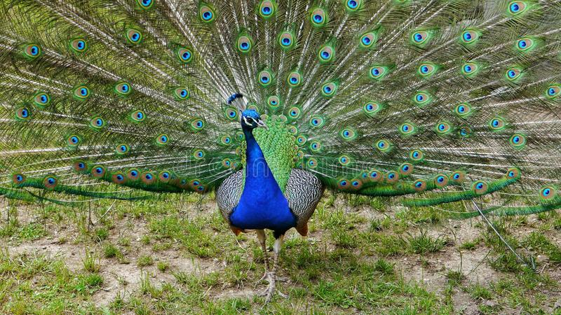 Peacock& x27; exhibición de s del plumaje fotos de archivo libres de regalías