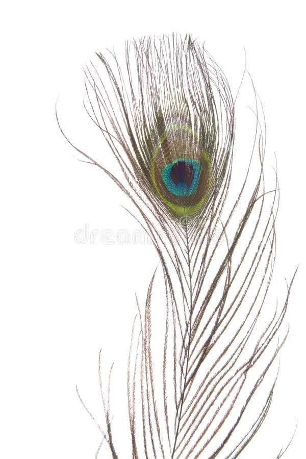 Peacock eye feather isolated on white background royalty free stock photos