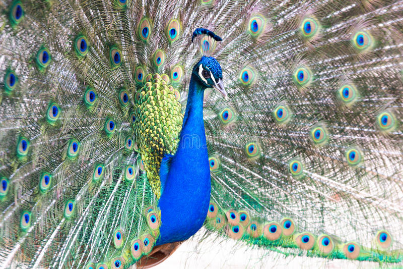 Peacock with fanned out tail stock photography