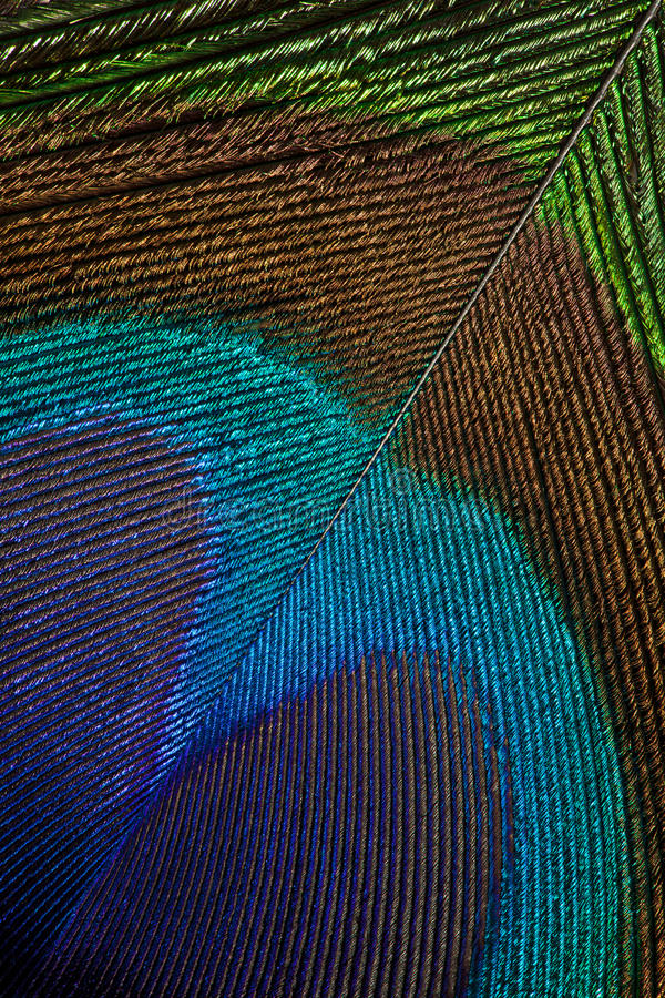 Download Peacock Feather Stock Photography - Image: 16665952