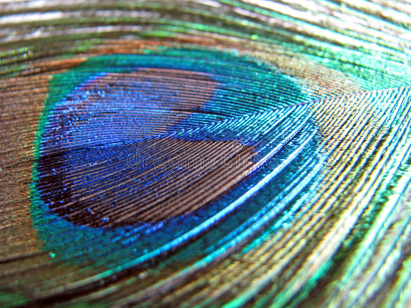 Peacock feather stock image