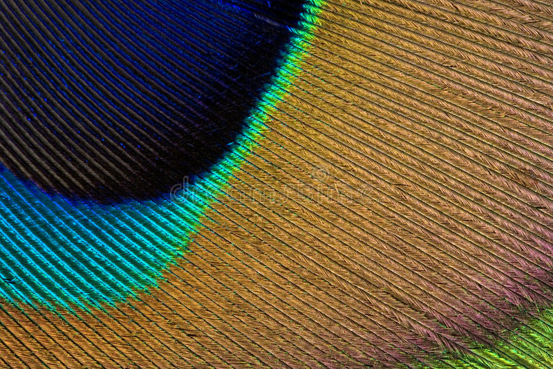 Download Peacock Feather Stock Image - Image: 2392321