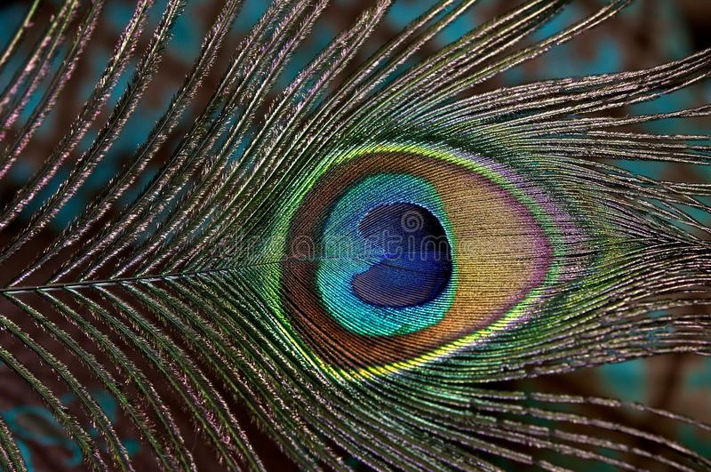 Download Peacock feather. stock photo. Image of peacock, texture - 24131626