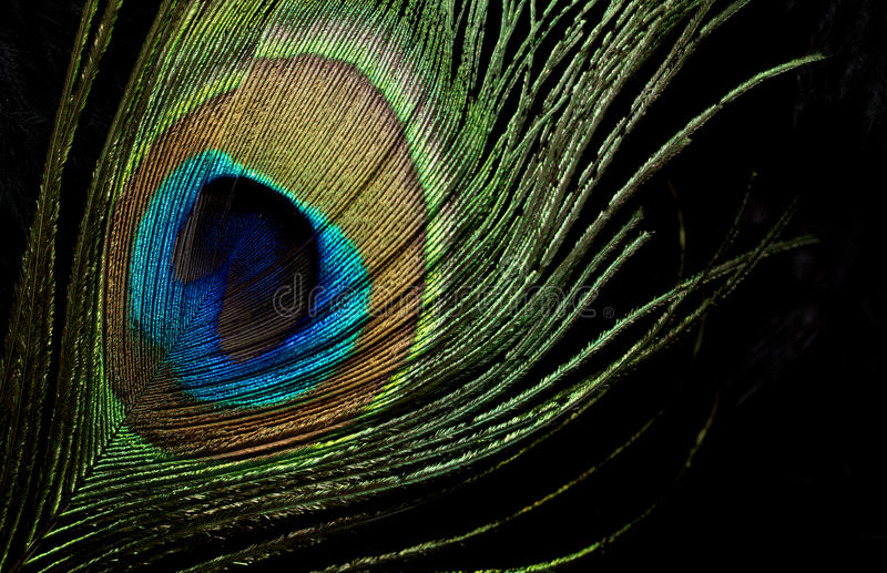 Download Peacock Feather stock image. Image of black, goose, background - 25598491