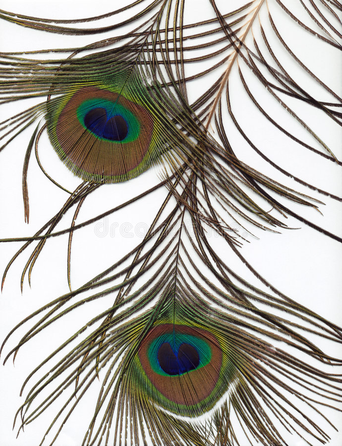 Download Peacock Feather Background stock image. Image of white - 451767