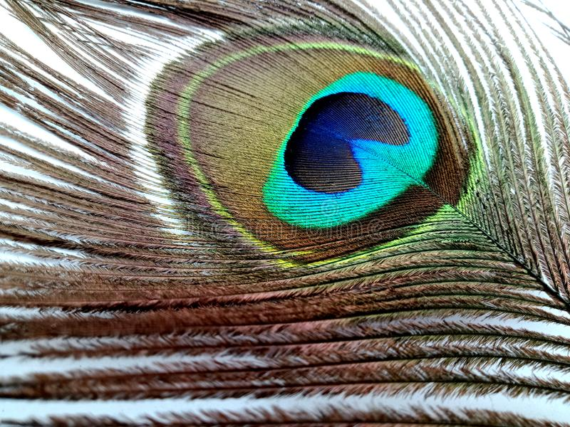Peacock feather close up isolated on a white background. royalty free stock photo