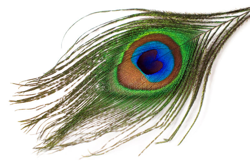 Peacock feather isolated stock images