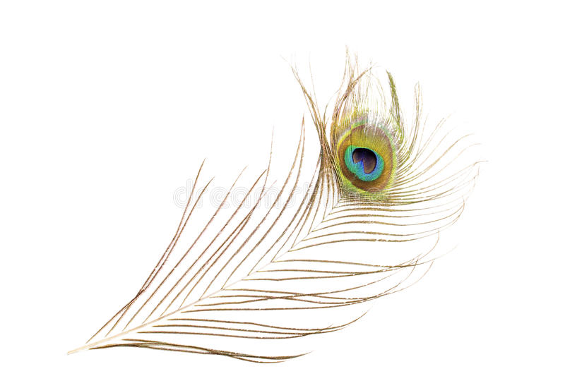 Peacock Feather Isolated On White Background royalty free stock photography