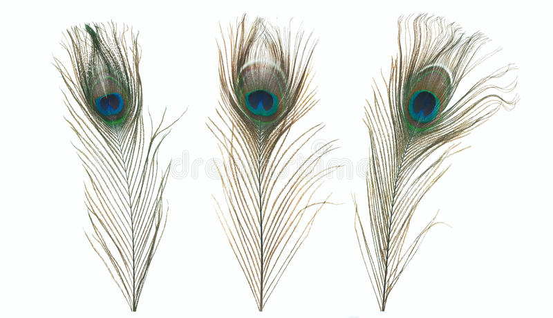 Peacock feather isolated on a white background stock photography