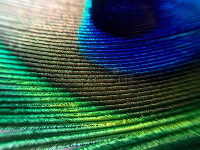 Peacock feather macro stock photo
