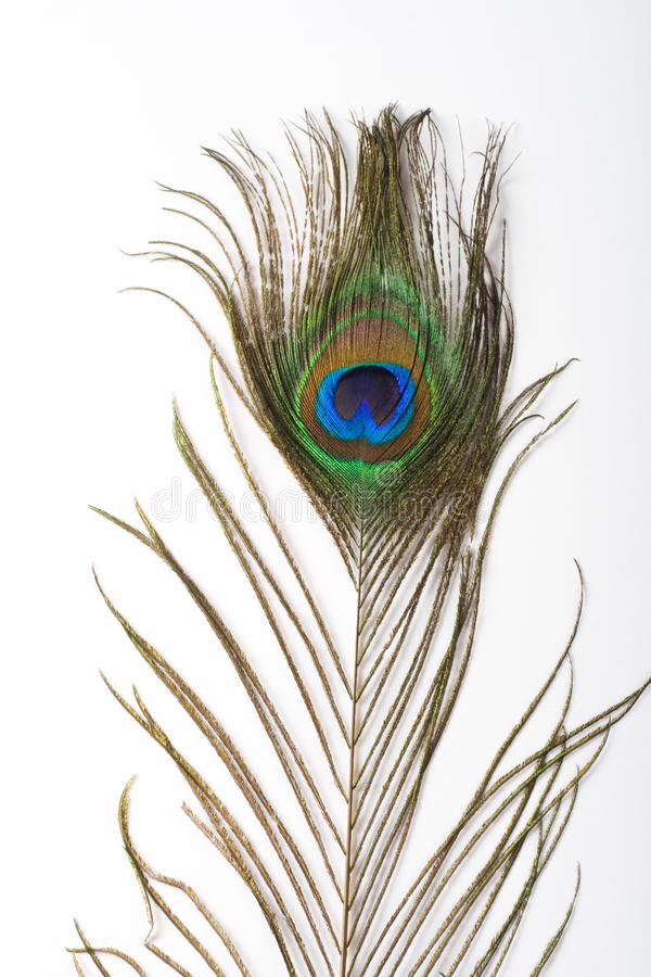 Peacock feather or morpankh isolated on white background stock images