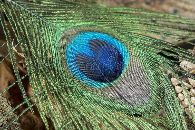 Studio shot of poeacock feather royalty free stock images