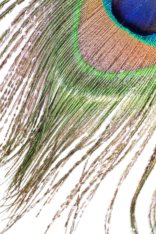 Peacock feather on white stock photo
