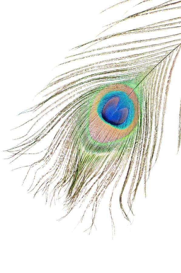 Peacock feather on white royalty free stock photos