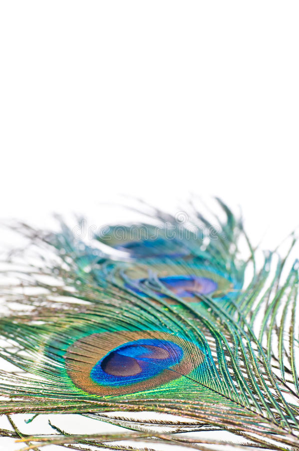 Peacock feather on white royalty free stock photography
