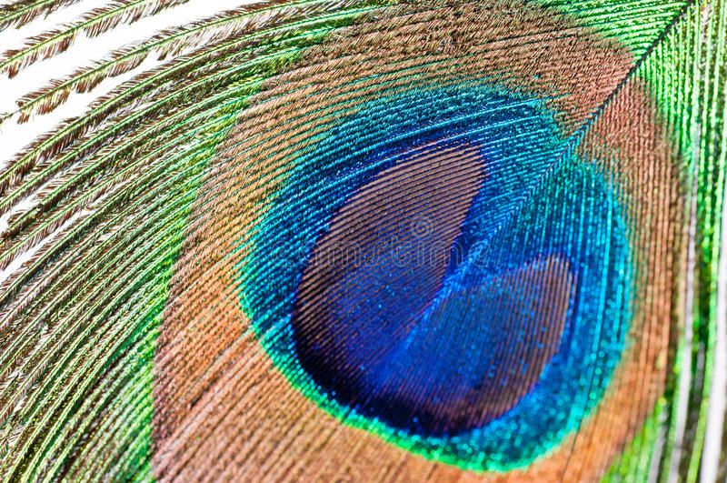 Peacock feather on white royalty free stock images