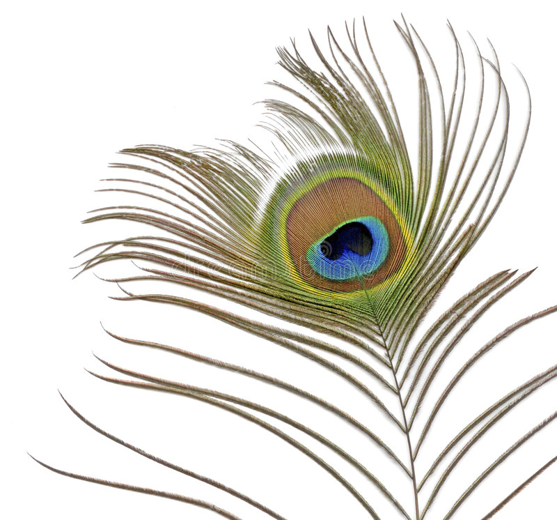 Peacock Feather on White. Colorful Peacock Feather on White stock images