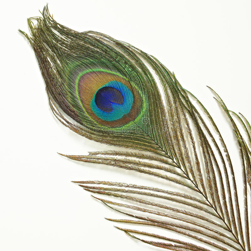Peacock feather on white background