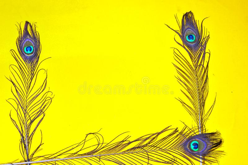 Peacock feather on yellow background, top view. yellow bright colors. Space for text,Bright peacock feathers on color background,. Peacock tail,writing space royalty free stock images