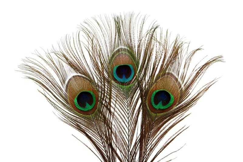 Download Peacock Feathers stock image. Image of peafowl, elegant - 10133399