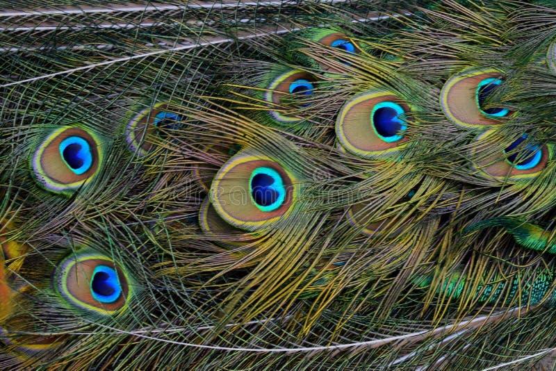 Peacock Feathers Free Public Domain Cc0 Image