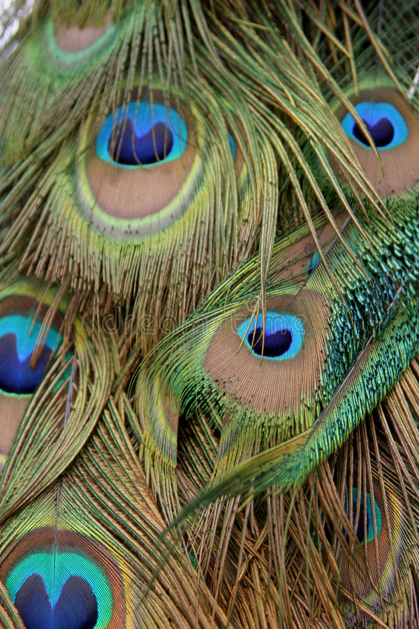 Free Peacock Feathers Stock Photo - 1725160