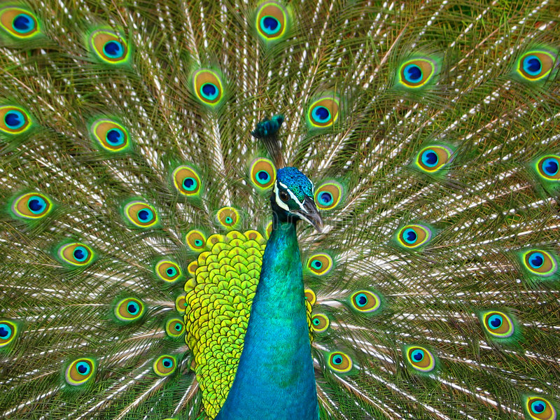 Peacock Feathers. Peacock showing off its plume feathers