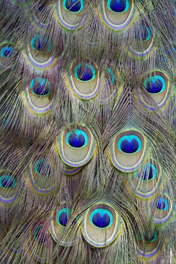 Peacock feathers. The colorful peacock tail feathers royalty free stock photo