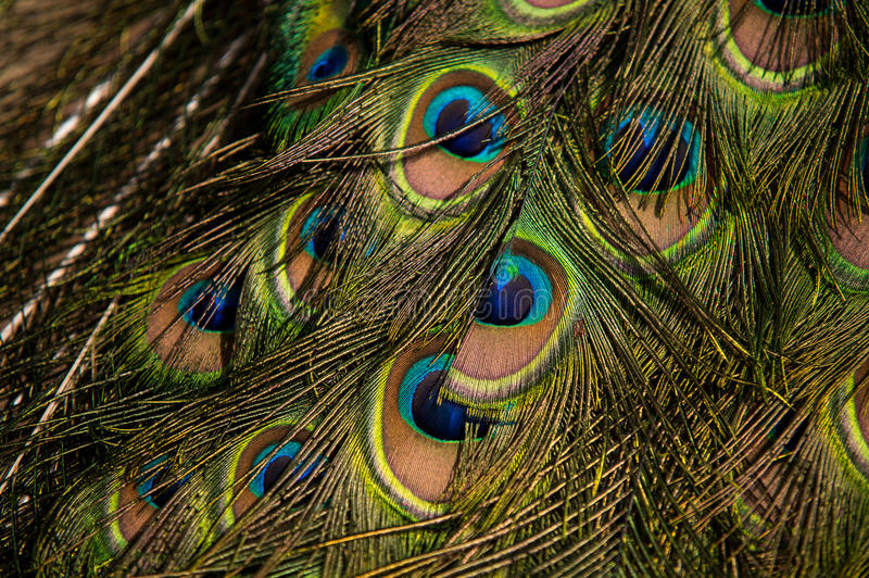 Download Peacock Feathers stock photo. Image of feathers, peacock - 25078396