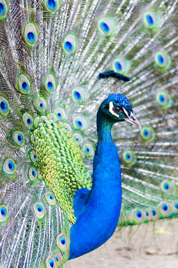 Download Peacock with feathers stock photo. Image of tropical - 26483996