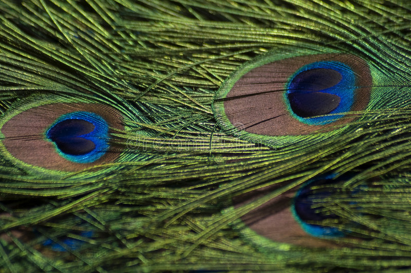Download Peacock feathers stock image. Image of green, feather - 4661185