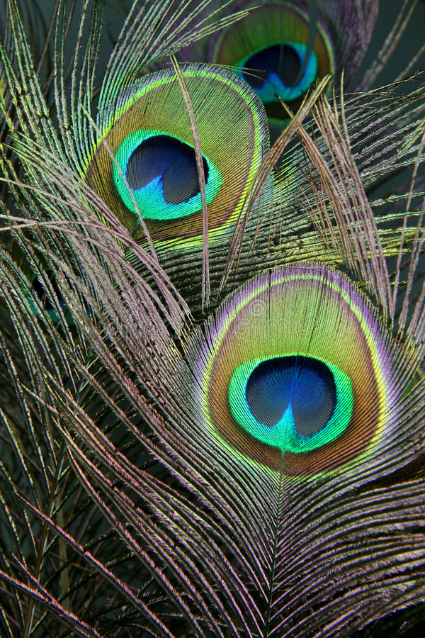 Peacock Feathers. Colorful feathers of the peacock arranged in a bouquet stock image