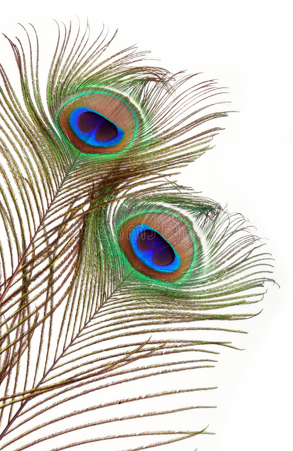 Peacock feathers. Detailed Peacock feathers with copy space