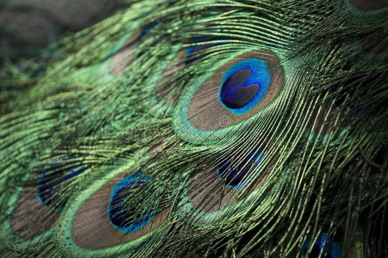 Peacock Feathers Free Public Domain Cc0 Image
