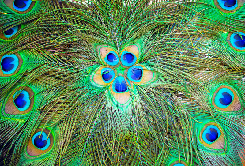 peacock feathers for background stock images