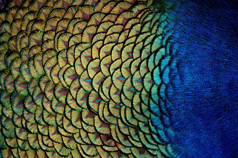 Peacock Feathers Close-Up stock photo