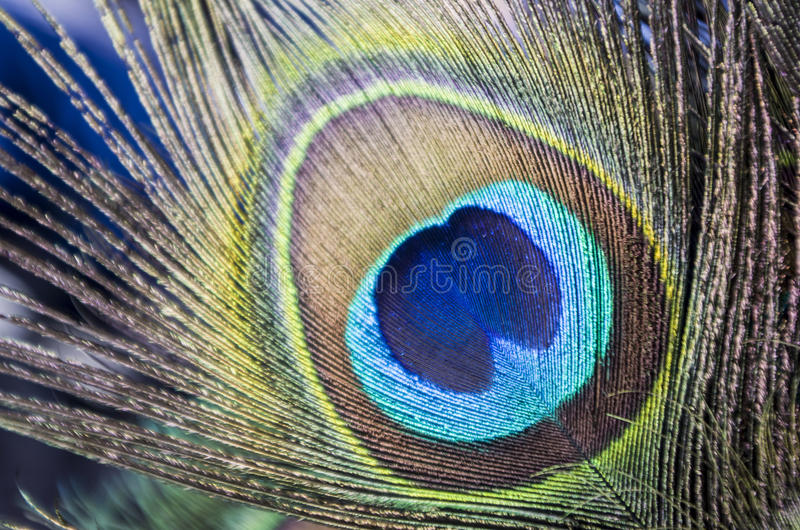 Peacock Feathers. In close-up royalty free stock image