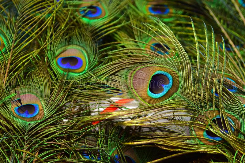 Peacock feathers on a green background.vintage. Real zise royalty free stock photos