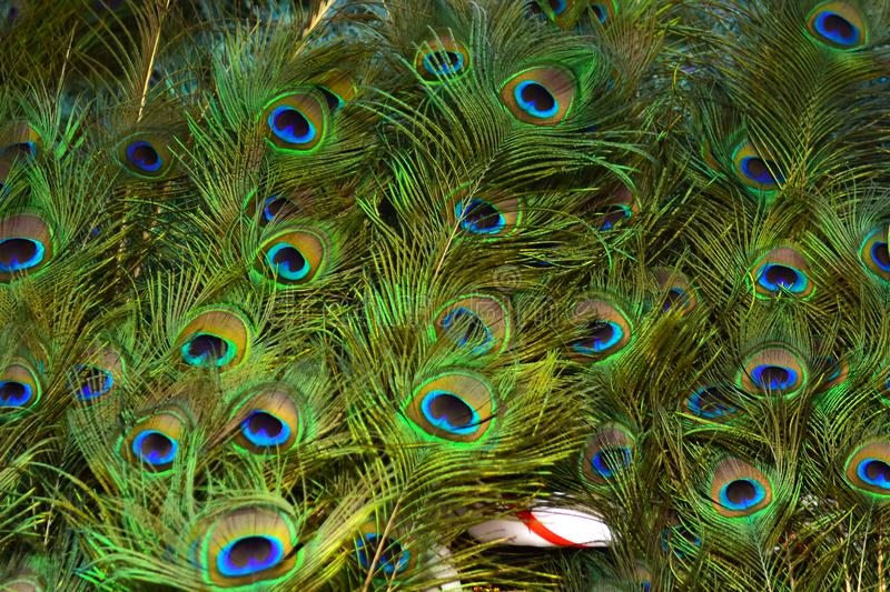 Peacock feathers on a green background.vintage. Real zise royalty free stock photo
