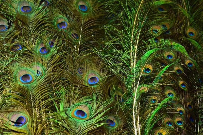Peacock feathers on a green background.vintage. Real zise stock images