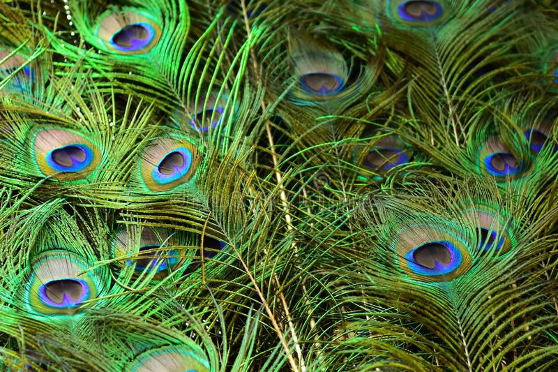 Peacock feathers on a green background.vintage. Real zise royalty free stock photography