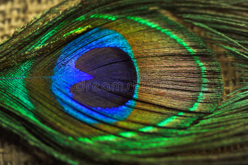 Peacock feathers. The peacock feathers on the light background stock photo