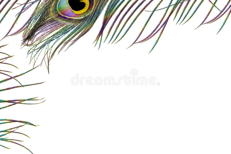 Peacock feathers in white background with text copy space stock illustration