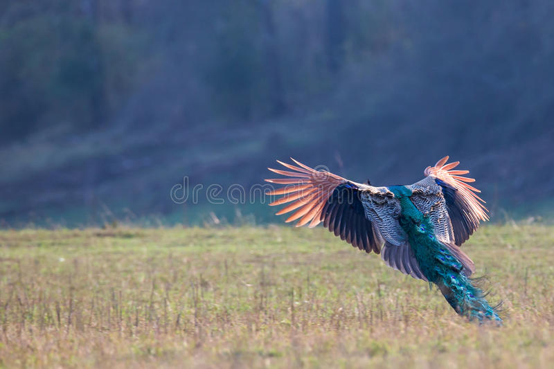 Peacock in flight. In forest. Canon 6D 550mm f6 1/2500 ISO 500 stock images