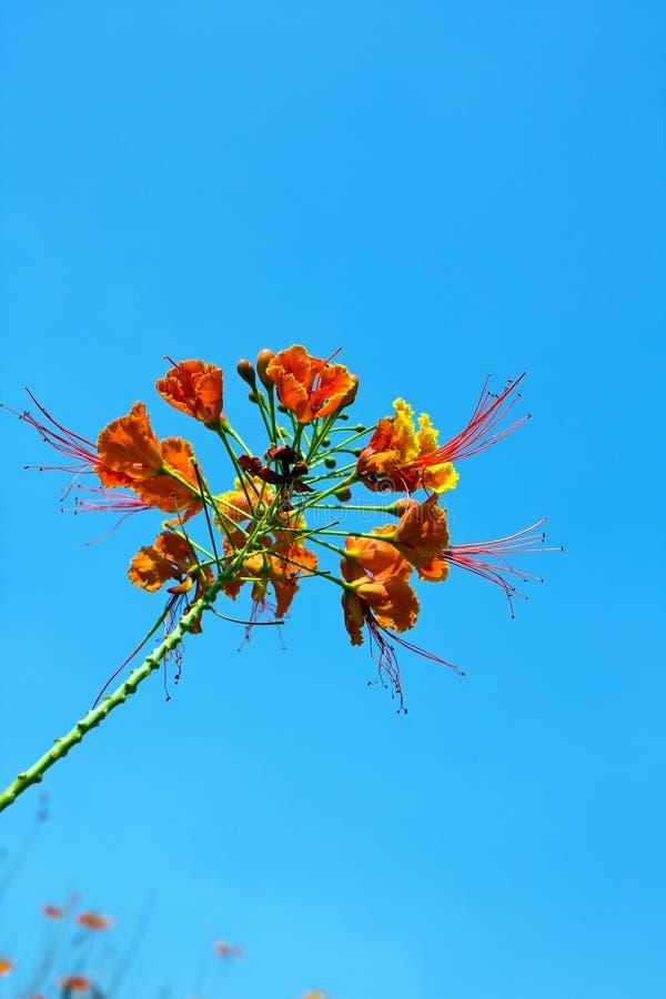 Download Peacock flowers stock image. Image of tropics, botanical - 22765569