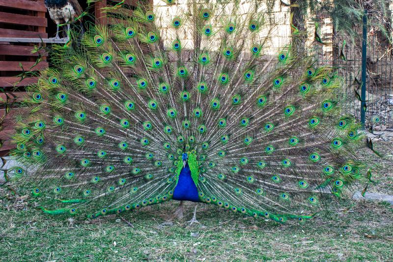 Peacock with flowing tail. Zoo with animals. Georgia stock photos
