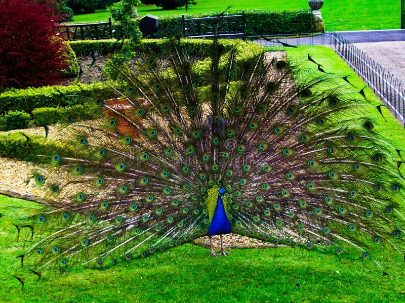 Peacock in full display royalty free stock photos